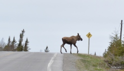 Chill moose crossing the road