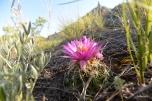 24 hour cactus flower