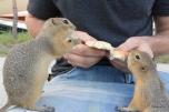 Guy feeding prairie dogs