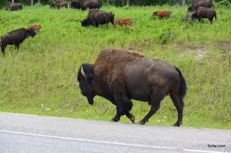 Grandpa bison