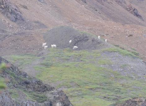 Dall sheeps