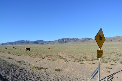 Watch out for wild cows
